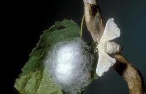 bozzolo-e-adulto-di-baco-da-seta-primo-art-mag-2021-rosato-fonte-cra-api