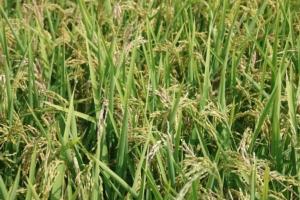 Thiopron<sup>®</sup>, nuove strategie di lotta al brusone del riso