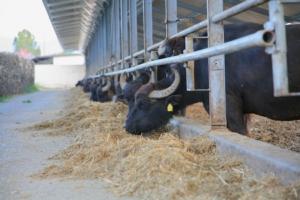 bufale-allevamento-by-maurizio-malangone-adobe-stock-750x500