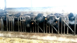 bufale-nutreco-italy-redazionale-6