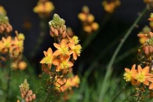 """Una """"pianta jolly"""": Bulbine frutescens - Plantgest news sulle varietà di piante"""
