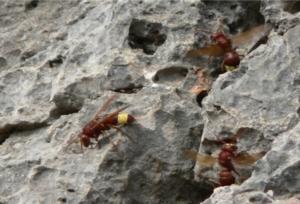 calabrone-vespa-orientalis-by-kreta-wikipedia-jpg