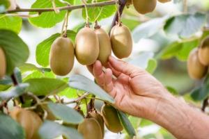 Ottime prospettive per Jintao<sup>®</sup>, l'esclusivo kiwi a polpa gialla Jingold - Plantgest news sulle varietà di piante