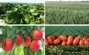 campi-pesche-lattughe-pomodori-leasulf-40-fonte-lea