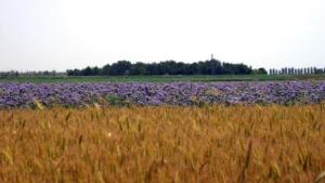 campo-di-grano-tutela-biodiversita-13-ott-2020-molini-pivetti