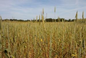 campo-frumento-grano-spighe-by-matteo-giusti-agronotizie-jpg