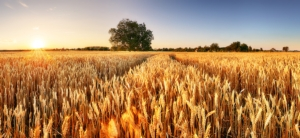 campo-grano-agricoltura-cereali-by-ttstudio-adobe-stock-750x344