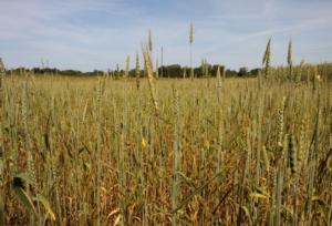 campo-grano-frumento-by-matteo-giusti-agronotizie-jpg