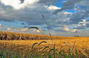 campo-grano-tlindenbaum's