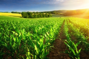 campo-mais-agricoltura-paesaggio-campi-by-smileus-fotolia-750