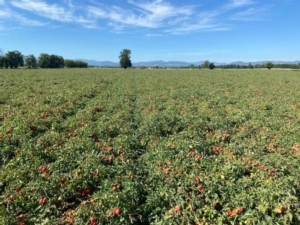 Prev-Am<sup>®</sup> Plus: nuovo concetto di difesa per tutte le colture orticole