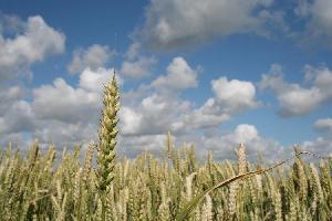 campo_cereali_morguefile_amjorsfeldt