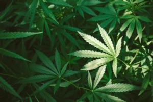 Cassazione: no alla cannabis light, ma...