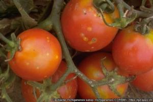 Cancro batterico del pomodoro, seme certificato per vincere - Plantgest news sulle varietà di piante