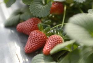 Club Candonga<sup>&reg;</sup>: al via le nuove adesioni - Plantgest news sulle variet&agrave; di piante