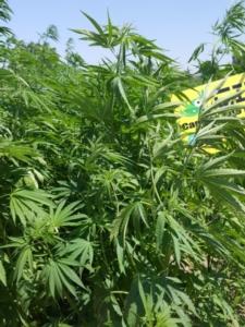 cannabis-sativa-cultivar-eletta-campana20giu2017mimmo-pelagalli