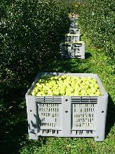 capp-plast-agribox-contenitori-cassoni-mele-pallets