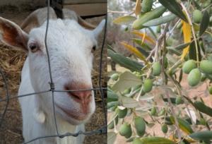 capra-olivo-by-matteo-giusti-agronotizie-jpg