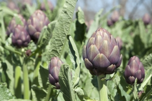Carciofo, la spinta naturale alla produzione di qualità - le news di Fertilgest sui fertilizzanti