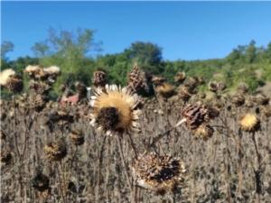 Cardo da seme, i primi risultati del progetto GoCard - Plantgest news sulle varietà di piante