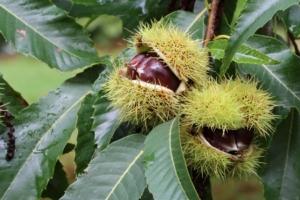 Conversione da bosco a castagneto da frutto, svaniscono le compensazioni - Plantgest news sulle varietà di piante