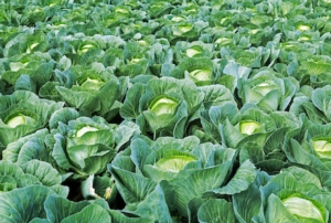 L'estate sta finendo: iniziano le brassicacee - le news di Fertilgest sui fertilizzanti