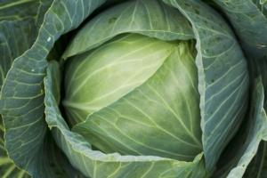 Cavolo cappuccio, coltivare per crescere - Plantgest news sulle varietà di piante