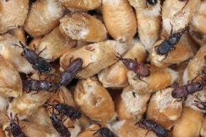cereale-infestato-fonte-newpharm