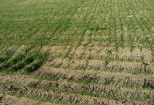 cereali-coltura-grano-orzo-by-matteo-giusti-agronotizie-jpg