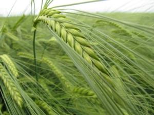 cereali-fonte-eurochem