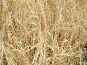 cereali-grano-duro-fonte-bmti