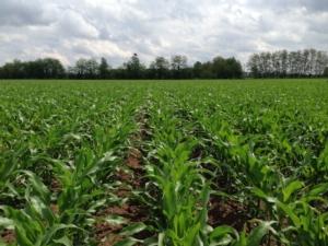 cereali-mais-campo-nascita-fonte-kws