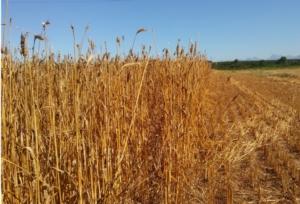 cereali-mietitura-grano-by-matteo-giusti-agronotizie-jpg