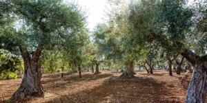 cifo-articolo-oliveto-olivo-post-raccolta-fonte-cifo