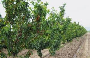 Cdb, portinnesti per piccoli ciliegi e grandi raccolti - Plantgest news sulle varietà di piante