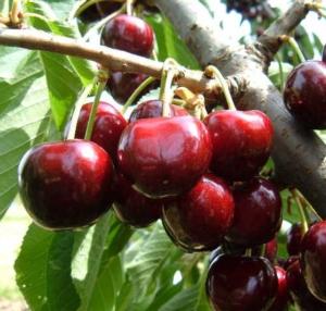EVENTI - Vivai F.lli Zanzi, tornano gli open day dedicati alle ciliegie - Plantgest news sulle varietà di piante