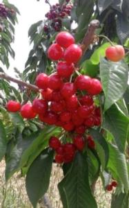 ciliegie-fonte-citta-delle-ciliegie