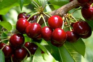 ciliegie-fonte-crpv