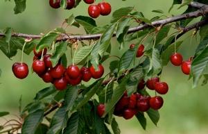 ciliegie-marostica-fonte-opo-veneto