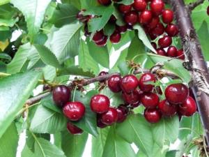 ciliegie-sweet-aryana-fonte-apofruit