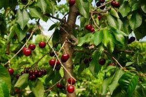 Vivai F.lli Zanzi, ciliegio: a ogni epoca la giusta varietà - Plantgest news sulle varietà di piante