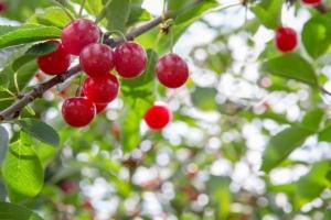 Conosciamo i ciliegi e le loro formazioni fruttifere - Plantgest news sulle varietà di piante