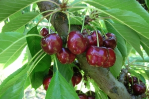 ciliegio-ciliegia-frutto-pianta-royalhelen-varieta-bygeoplant-750x500
