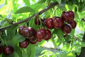 Royal Helen, una ciliegia al top - Plantgest news sulle varietà di piante