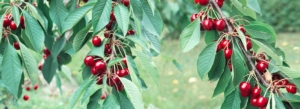 ciliegio-ramo-ciliegie-by-swetlana-wall-adobe-stock-750x273