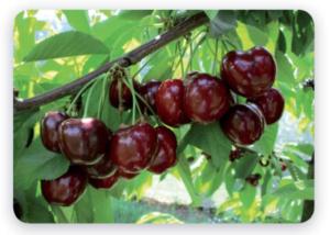 ciliegio-royal-helen-fonte-geoplant