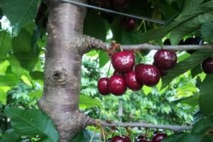 Ciliegie, belle e buone secondo Vivai Zanzi - Plantgest news sulle varietà di piante
