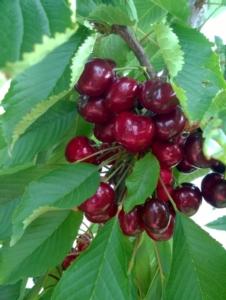 Ciliegio, procede la produzione vivaistica - Plantgest news sulle varietà di piante