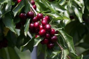 Top Plant, piante di ciliegio made in Italy - Plantgest news sulle varietà di piante