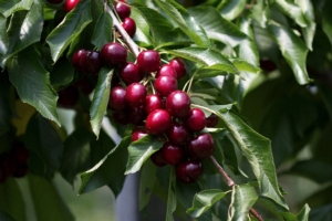 ciliegio-sweet-gabriel-pa3unibo-varieta-pianta-byunibo-750-500